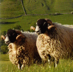 The Swaledale is a hardy sheep suited to exposed hills. Crossed with Wensleydale or Teeswater to produce the Masham or with Bluefaced Leicester to produce the Mule, it is  at home on the moorlands of Northern England. The rather coarse wool is mainly used for carpets.