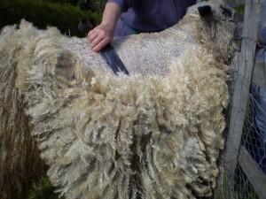 Shearing WW